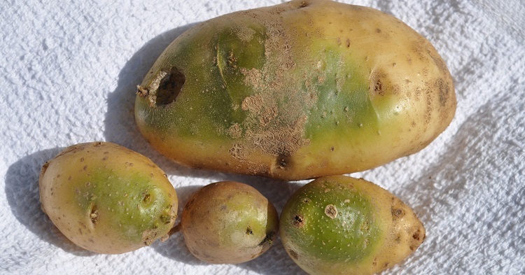 Grow green potatoes 750