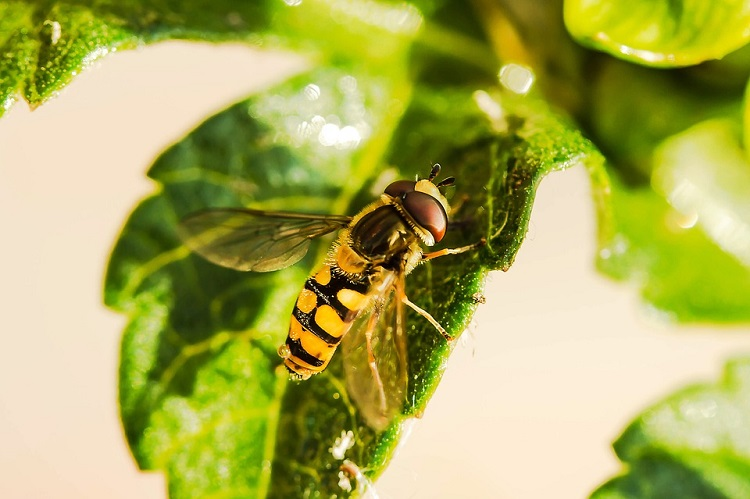 WBD hoverfly 750