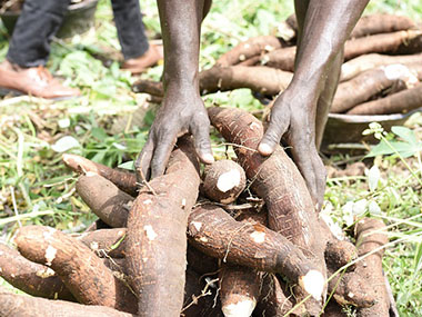 Root and Tuber Crops in Development