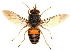 most harmful pests, the tsetse fly,