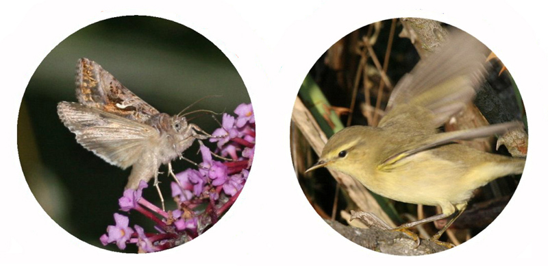Silver-Y moth and Willow Warbler. Reproduced by kind permission of T. Alerstam