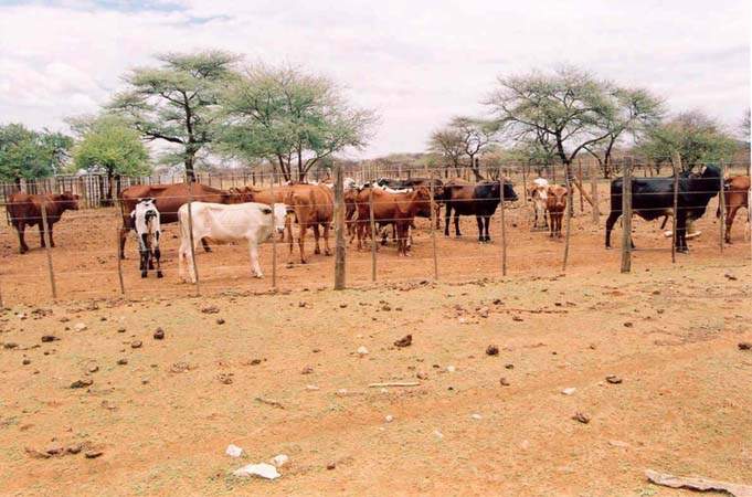 namibian feedlot full