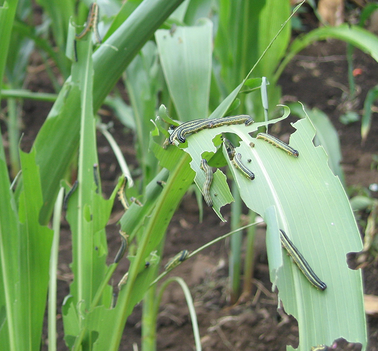 Armyworm attacking young maize in Tanzania. Photo by Kenneth Wilson