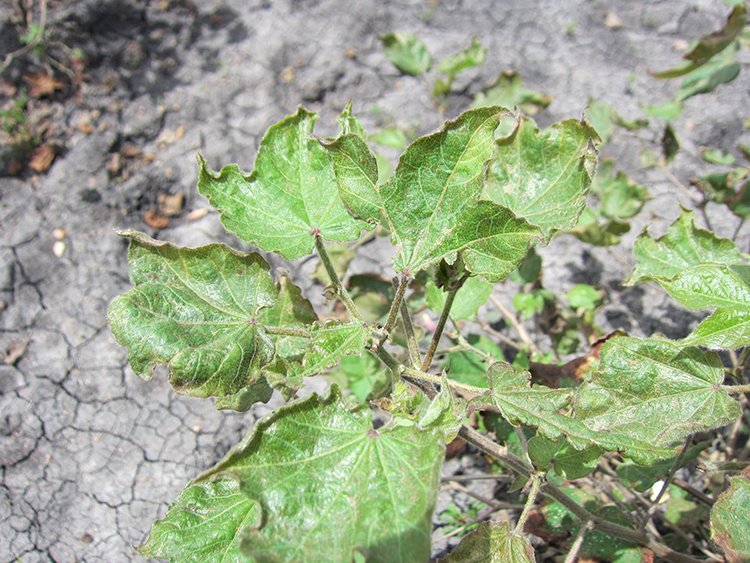 Premature Defoliation Syndrome on cotton leaves. Photo by Rory Hillocks