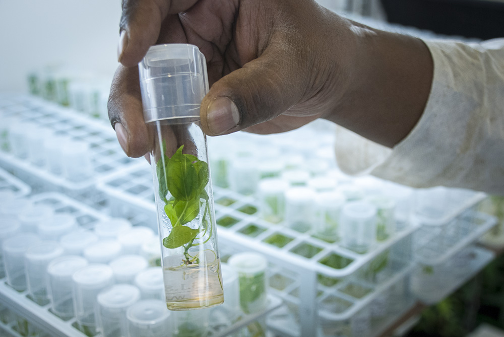 Cassava plants growing in tissue culture media