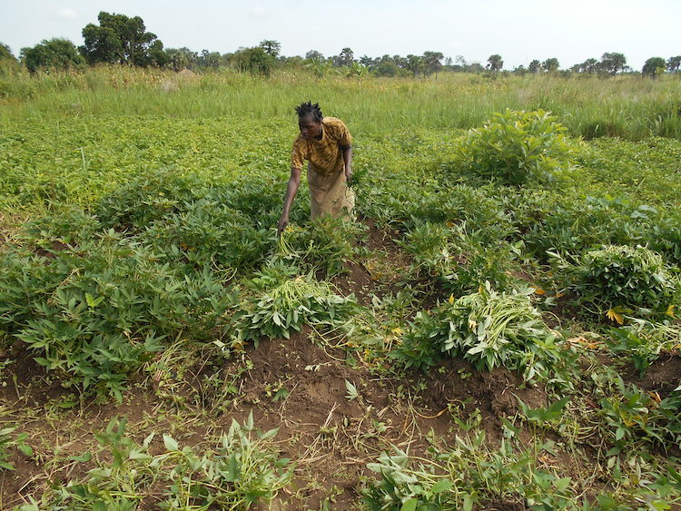 A farmer collecting cuttings for a new crop