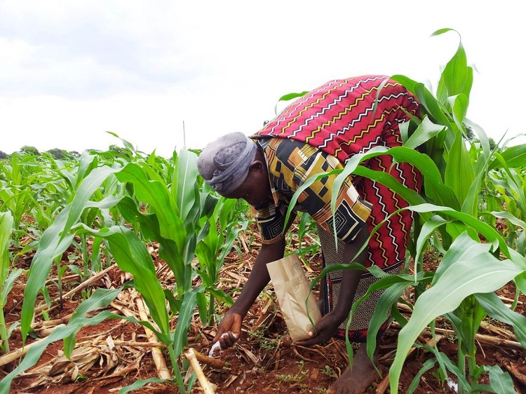 A maize farmer in Kenya applies fertiliser to the soil: optimal financial packages would allow farmers to invest in resources such as fertiliser