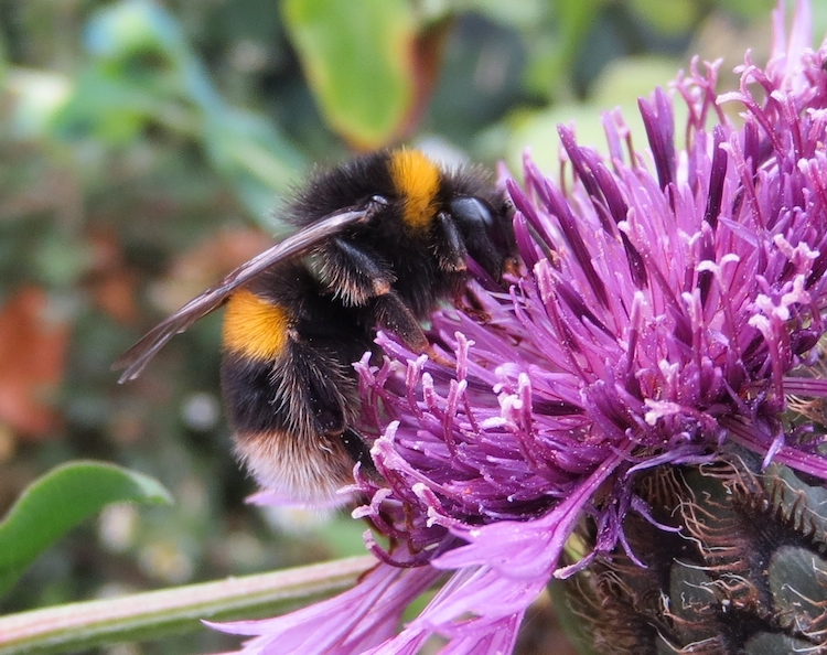 Bombus terrestris. Photo: Phil Stevenson