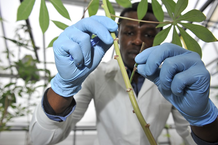Cassava-lab-NRI R-Leavett-web