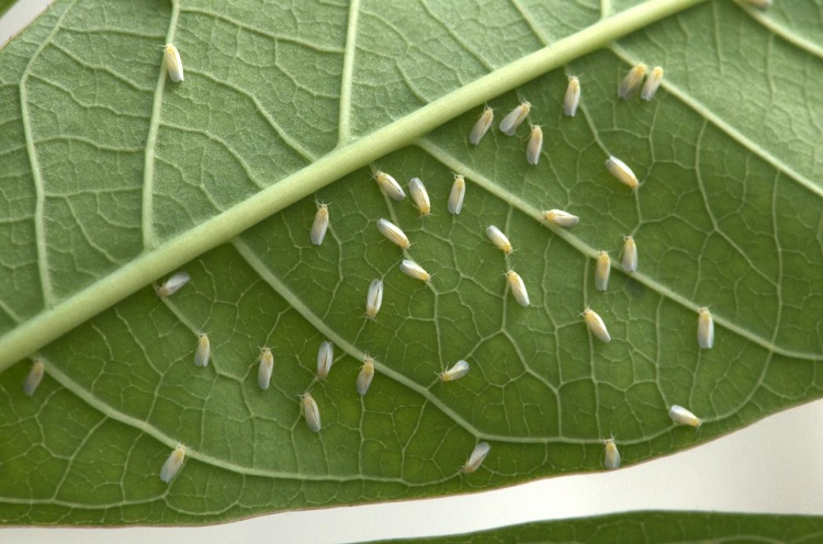 The African cassava whitefly, Bemisia tabaci, up close