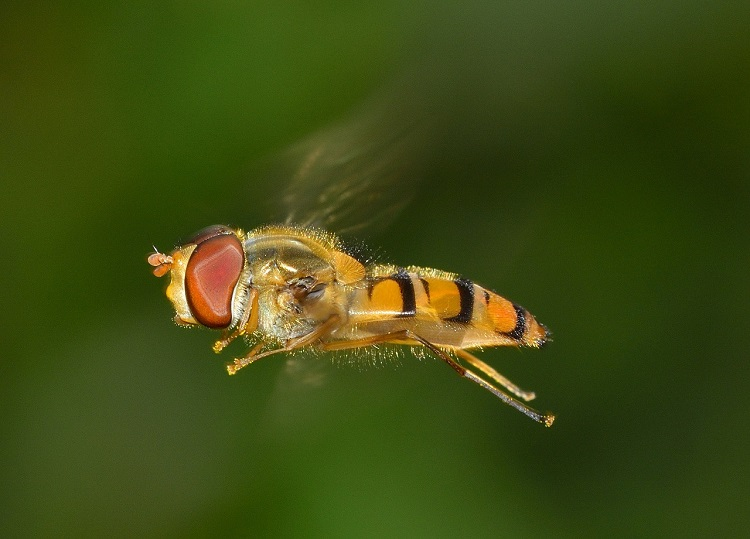 One of the insect targets of the radar: the hoverfly Episyrphus balteatus, sometimes called the 'Marmalade Hoverfly' – a beneficial insect, which is a significant component of the day-flying migratory fauna studied by radar in the new study.