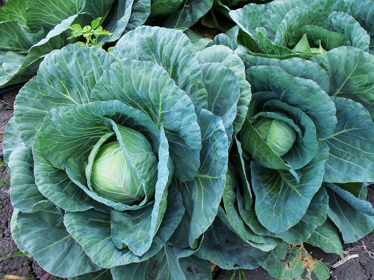 Cabbages are a particular favourite of the ultra-destructive diamondback moth (Plutella xylostella)