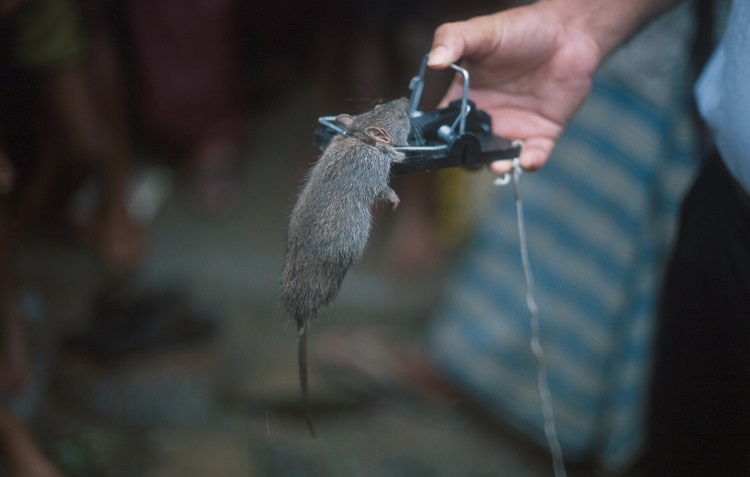 Not all rat traps are the same, and recent changes in their design have made them much more sensitive and effective in catching rats.  Trapping can be a very sustainable method of rodent control in developing countries as long as communities have access to good quality traps | Photo: S Belmain