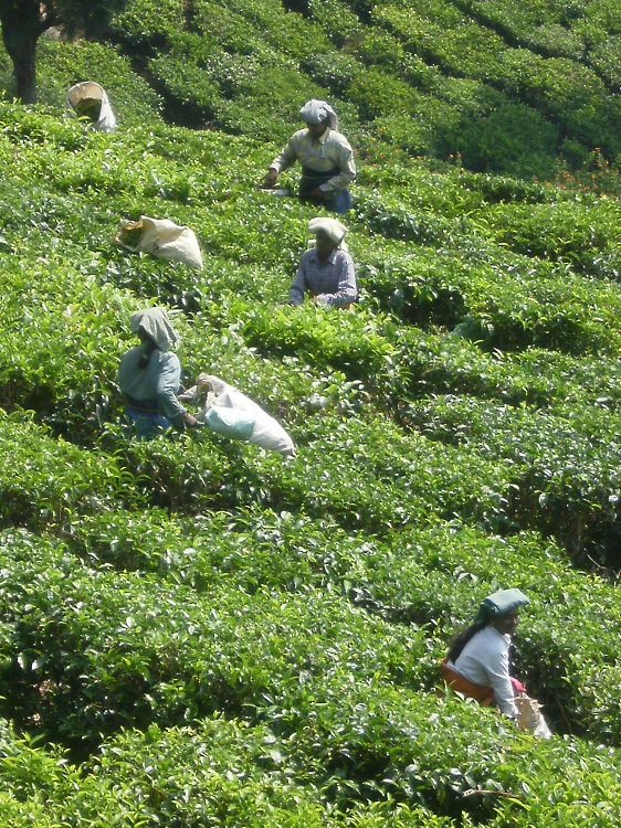 Tea picking V Nelson