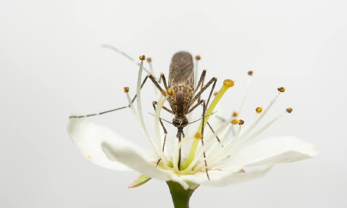 An adult female Aedes cantans feeding on nectar from a flowering blackthorn (Prunus spinosa) | Photo: Anders Lindström